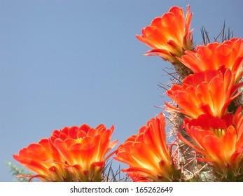 Claret cup cactus flowers skyward view