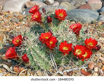 The claret-cup cactus, also called the strawberry cactus, blooms in the rock garden in the Arizona springtime.