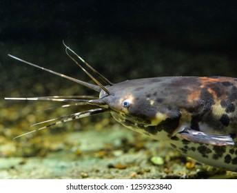 Clarias batrachus or black walking catfish in natural background. Fish in the aquarium