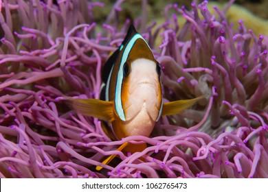 Clark's Anemonefish (Amphibrion clarkii) in pink anemone