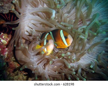 Clarks anemonefish, Amphiprion clarkii in an anemone in the Philippines