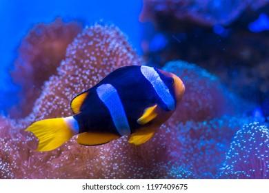 Clark's anemonefish, Yellowtail clownfish
