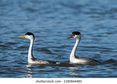 Clark's grebe (Aechmophorus clarkii) Lake County, California, USA