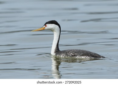 A Clark's grebe swims slowly through quiet water displaying its field marks of yellow beak and white feathers extending above the eyes.