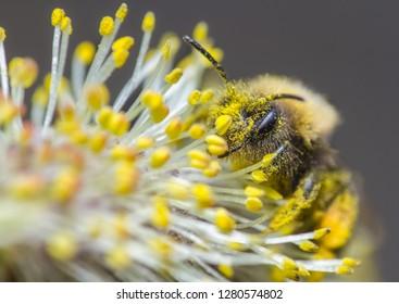 Clark's Mining Bee (Andrena clarkella) feeding on sallow blossom