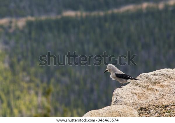 Clark's nutcracker bird standing on the edge of a cliff at Rocky mountains, Colorada, USA.