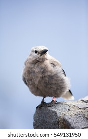 Clark's Nutcracker chick at Crater Lake National Park