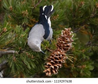 Clark's Nutcracker feeding on pine seeds in Yellowstone National Park