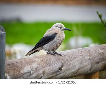 Clark's nutcracker resting on a wooden fence