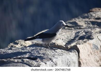 Clark's Nutcracker in scenic Rocky Mountain National Park - Colorado, USA