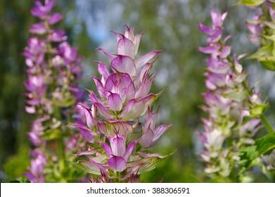 clary sage plant in garden in summer