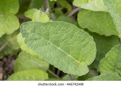 Clary - Sage - Salvia sclarea
