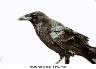 Classic Black Raven. Raven, or crow, bird in vintage style on white.