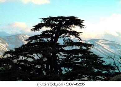 A classic Cedars of Lebanon silhouette from the Cedars of Lebanon sanctuary reserve north of Bcharre on the snowy slopes of Lebanon's highest peak, Qurnat as Sawda, 10,000 feet high.