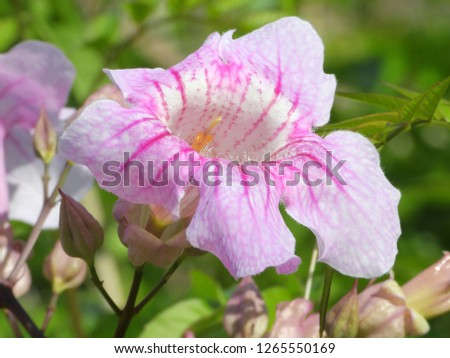Classic Cream Pink Flower Mandevilla Vine Stock Photo Edit Now