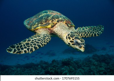 Classic image of a Hawksbill Turtle with clean background.