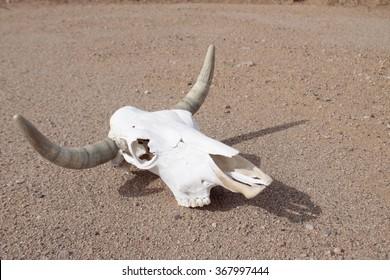 Classic longhorn skull still life in desert