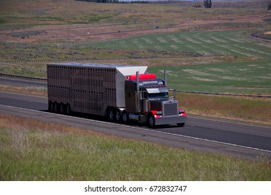 Classic Peterbilt Semi-Truck pulling a Cattle Trailer along a rural Oregon Highway.  June 20th, 2017 Rural Oregon, USA
