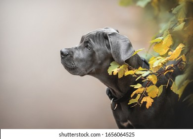 Classic portrait of a cane Corso puppy surrounded by bright autumn foliage