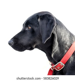 Classic profile of a beautiful black lab with a red collar against a white background of snow