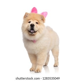 classy chow chow wearing pink rabbit ears standing on white background and panting