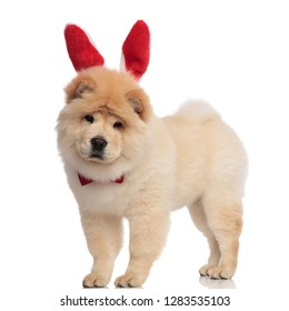 classy chow chow wearing red bunny ears headband standing on white background and looking down