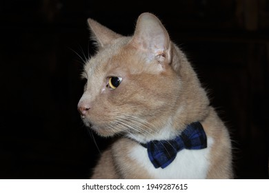 classy ginger cat with bow tie