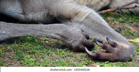 Claws of a kangaroo is a marsupial from the family Macropodidae (macropods, meaning 'large foot').