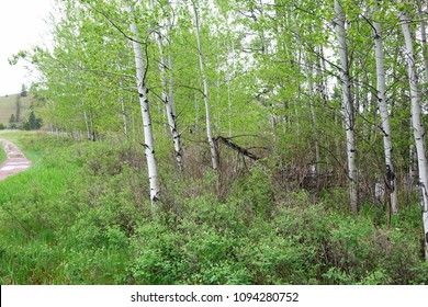 Clay Flat, near Missoula, Montana, contains beautiful green forests and white-barked aspen trees.