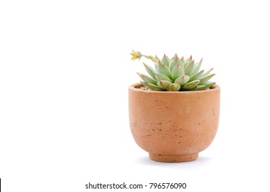 Clay pot of pastel green flowering echeveria succulent plant with yellow blooming flower on white background