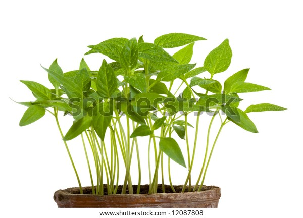 clay pot with young sprout isolated on white background