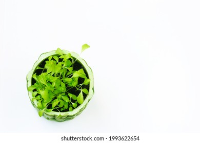 maceta de arcilla con brotes jóvenes de lechuga microverde, fondo blanco, vista superior