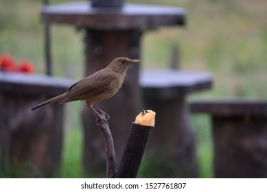 Clay-colored thrush Bird from Costa Rica