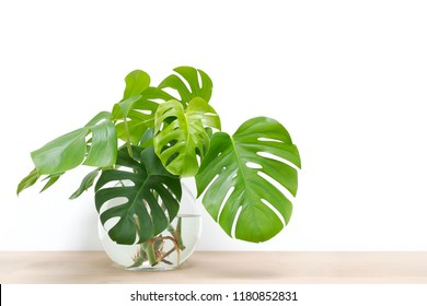 clean image of propagation of Philodendron Monstera, Swiss Cheese Plant leaves, cuttings in water rooting in glass vase, copy space, room for text