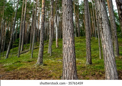 a clean pine forest in the north of Sweden