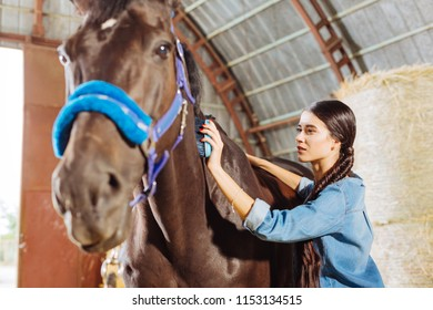 Cleaning horse. Beaming happy horsewoman wearing stylish denim clothes cleaning beautiful dark horse