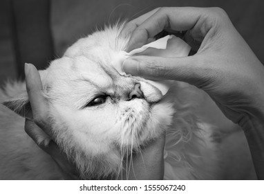 Cleaning Persian Chinchilla Cat's eyes with cotton pad. Cat's Eyes Healthy. Prevention of eyes's problem. black and white tone