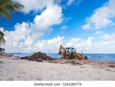 Cleaning sargassum algae on tropical shore with bulldozer. Caribbean ecology problem
