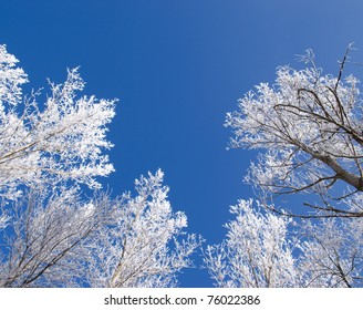 clear blue sky framed with white winter frees