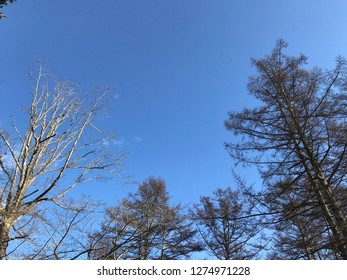 Clear blue sky and white cloud with treetops of pines and trees in the bottom. Treetops and beautiful blue sky with copy space for background.