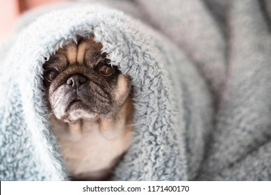 clear old pug sit down looking at you serious and intense. canine life at home on a blue cover with defocused background. image lifestyle with dog.