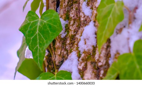 Clear Panorama Vibrant heart shaped vines and green algae thriving on the trunk of a tree