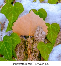 Clear Square Heart shaped vines growing on the brown trunk of a tree with algae and snow