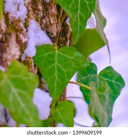 Clear Square Vines with heart shaped leaves growing on a tree with snow in winter