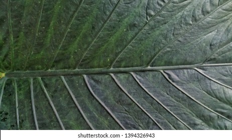 Clear and tight taro leaf bones are like fish bones