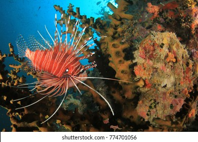 Clearfin Lionfish fish