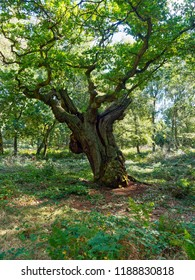 In a clearing in Sherwood Forest stands an ancient oak tree. Its thick trunk has split and the tree now leans to the right.