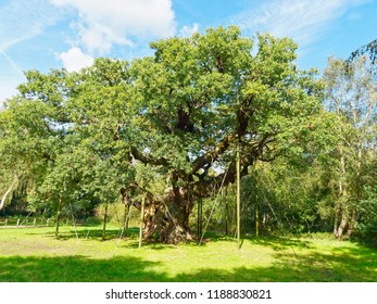 In a clearing in Sherwood Forest, under a blue sky, stands the mighty Major Oak. Now supported by props and cables to hold up its thick branches.