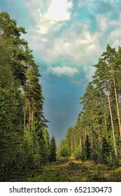 Clearing in the spruce forest in the Leningrad region