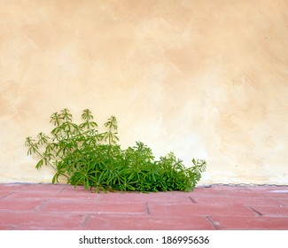 Cleavers aka Galium aparine against rural rustic wall and terracotta tiles. Background. Aka goosegrass.